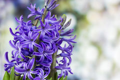 Blooming hyacinth flowers (hyacinthus) Stock Image