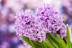 Blooming hyacinth flowers (hyacinthus) Royalty Free Stock Photo