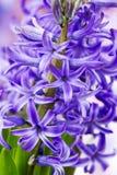 Blooming hyacinth flowers (hyacinthus) Royalty Free Stock Image