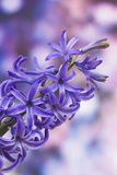 Blooming hyacinth flowers (hyacinthus) Stock Photography