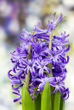 Blooming hyacinth flowers (hyacinthus) Royalty Free Stock Images