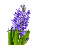 Blooming hyacinth flowers (hyacinthus) Stock Photos