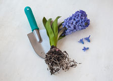 Blooming hyacinth with roots Royalty Free Stock Image
