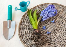 Blooming hyacinth with roots on a wicker round Royalty Free Stock Images