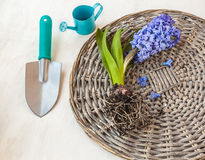 Blooming hyacinth with roots on a wicker round Stock Image