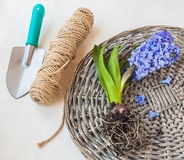 Blooming hyacinth with roots on a wicker round Stock Photography