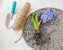 Blooming hyacinth with roots on a wicker round Stock Photos