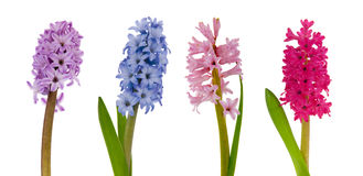 Blooming hyacinths Stock Photography