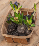 Blooming hyacinths in a basket Stock Images