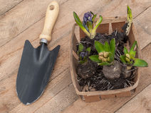 Blooming hyacinths in a basket  on a wooden table Stock Photos