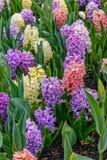 Blooming hyacinths stock image