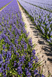 Blooming hyacinths in the field of a nursery Royalty Free Stock Photo