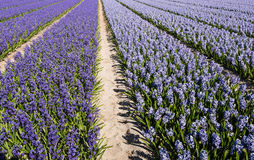Blooming hyacinths in the field of a nursery Stock Photo