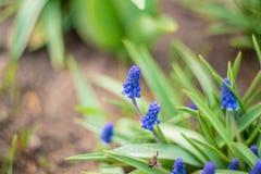 Blooming hyacinths taken on manual optics. Selective focus. Nature stock photos
