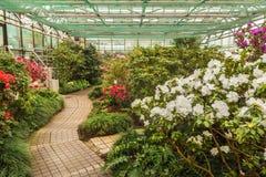 Blooming hybrid Azalia Rhododendron hybridum   in a greenhouse Royalty Free Stock Photo