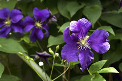 Blooming hybrid cultivar Jackman`s clematis Clematis x jackmani. I in the summer garden Royalty Free Stock Photography