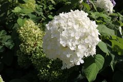 Blooming of hydrangea royalty free stock photos
