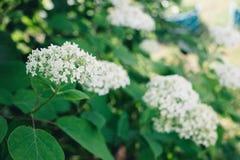 blooming hydrangea Bush, white flowers in the garden stock photo