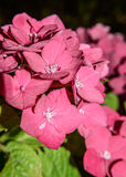 Blooming hydrangea in garden. Blooming Hydrangea macrophylla shrubs in garden Royalty Free Stock Images