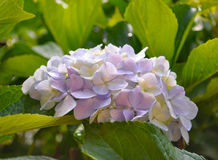 Blooming Hydrangea in Japan Stock Images