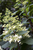 Blooming Hydrangea paniculata flower Stock Image