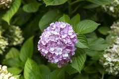 Blooming Hydrangea Plant in Springtime. Colorful Blooming Hydrangea Plant in Springtime stock photo