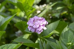 Blooming Hydrangea Plant in Springtime stock images