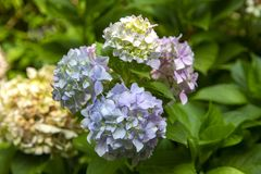 Blooming Hydrangea Plant in Springtime stock photos
