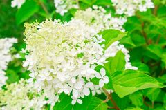 Blooming hydrangea. Small white flowers and green leaves on the Bush. Decorative garden plant.  royalty free stock images