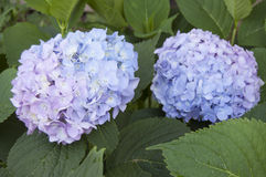 Blooming hydrangea - twoo inflorescences Royalty Free Stock Images