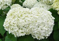 Blooming Hydrangeas Stock Photo