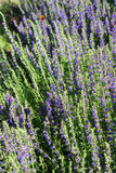 Blooming hyssop. Hyssop plant in the garden royalty free stock photo