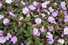 Blooming Impatiens in garden Stock Image