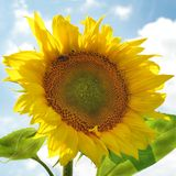 Blooming inflorescence of a sunflower royalty free stock image