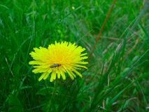 An insect on a yellow dandelion. Blooming insect dandelion on it, green, flower, grass, nubile, nature Stock Photos