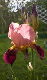 Blooming Iris Stock Photography