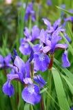Blooming Iris Royalty Free Stock Photos
