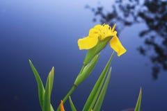 Blooming iris. Beautiful flower yellow iris on a background of water Royalty Free Stock Image