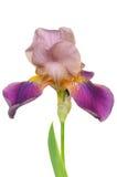 Blooming Iris flower Royalty Free Stock Images