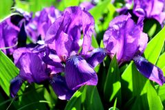 Blooming iris flower in summer on a flower bed royalty free stock image
