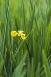 Blooming Iris Stock Images
