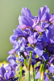 Blooming irises Royalty Free Stock Photos