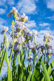 Blooming irises against the blue sky and clouds. Blooming flowers in the garden against the backdrop of a cloudy sky Stock Image