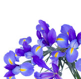 Blooming irises flowers Royalty Free Stock Image