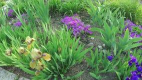Blooming irises on nature stock video