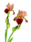 Blooming irises on a white background Royalty Free Stock Images
