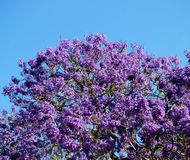 Blooming Jacaranda Tree Royalty Free Stock Images