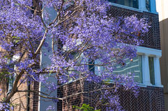 Blooming jacaranda tree with building on the background Royalty Free Stock Images