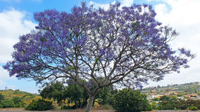 Blooming Jacaranda tree at Kate Sessions Park Royalty Free Stock Photos