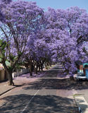 Blooming jacaranda trees Stock Photography